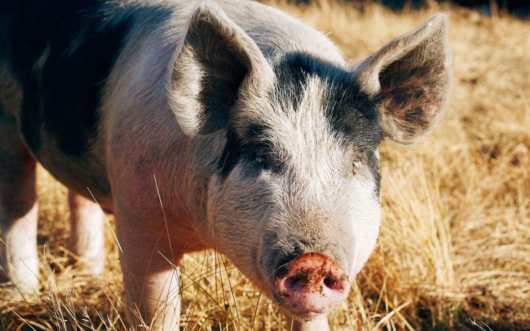 Muslingefoder til grise